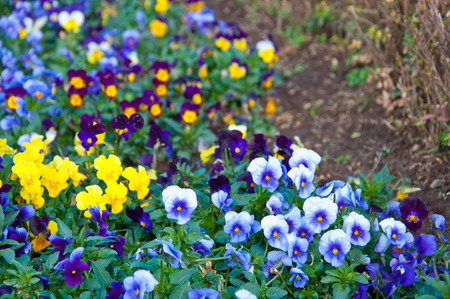 The colorful of Pansy or Viola tricolor var. hortensis name Blue & Purple Rain Viola, Fizzy Lemonberry, Karma Yellow and Maxim Marina on the ground in Chiang Mai, Thailand