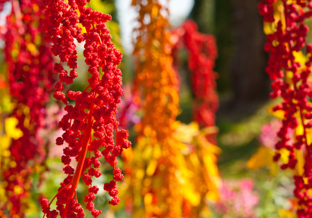 red quinoa: The colorful Chenopodium quinoa tree in the farm