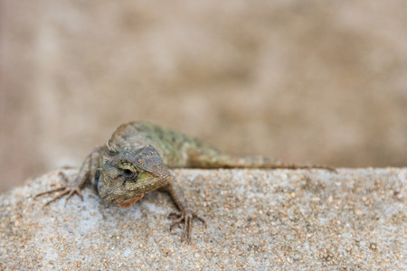 disguises: The close up of tree lizard disguises on the brown rock Stock Photo