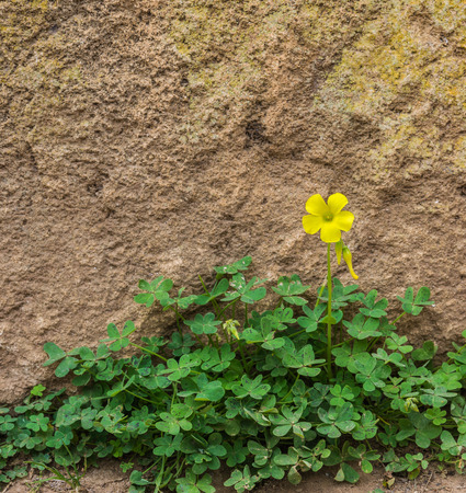 wood sorrel: One yellow wood sorrel on the ground in front of the rock wall in the garden of Chellah in Rabat, Morocco