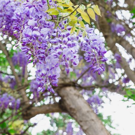 wistaria: The purple wisteria sinensis in the garden of Chellah in Rabat, Morocco