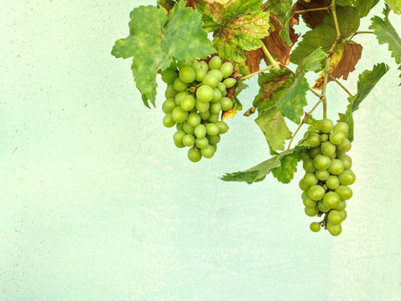 imperfect: The imperfect grape with rust leaves on green wall as background