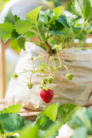 One fresh red strawberry in the farm as background Stock Photo