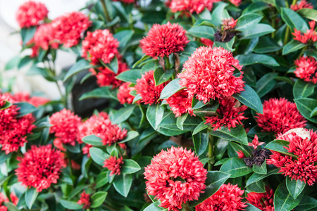 west indian: The bush of red flower name Ixora chinensis Lamk (West Indian Jasmine) in Thailand