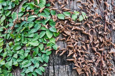 The conflict between dried and fresh leaves on the same tree as background