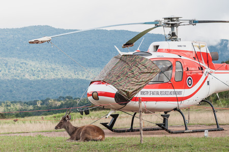 Nakornratchasrima, Thailand - September 15, 2012: One deer sits beside parked helicopter of Ministry of Natural Resources and Environment of Thailand on September 15, 2013 in Khao Yai National part, Nakornratchasrima, Thailand Editorial