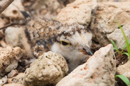 The young Little Ringed Plover or Charadrius dubius disguise beside stone Stock Photo