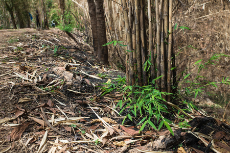 The burnt bamboo has new sprout after wildfire in the forest of Chainart, Thailand Stock Photo