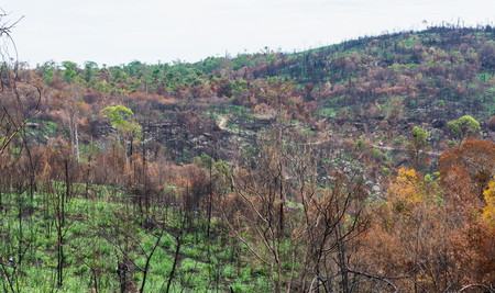 The burnt tree in the forest after wildfire in Chainart, Thailand