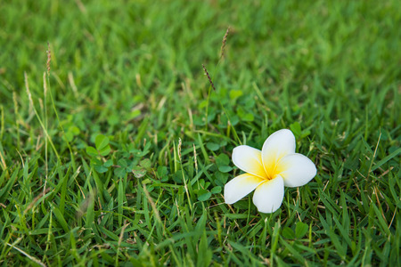 One white-yellow fresh plumeria on the green grass as background