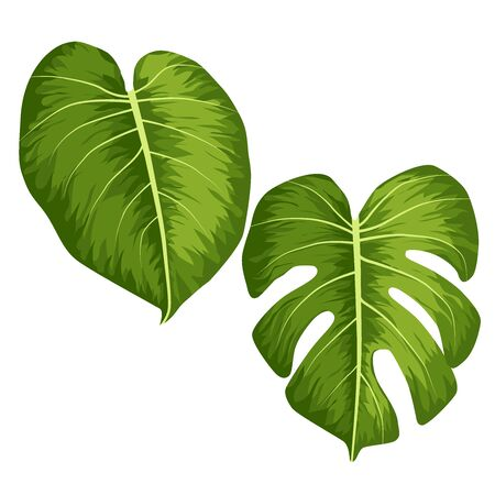 Vector big green leaves of tropical Monstera plant isolated on white background 矢量图像