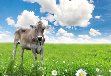Cow on green grass and blue sky with clouds  photo