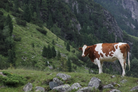 Cow on a meadow photo