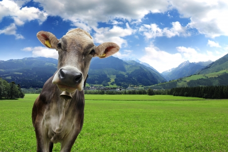 grazing land: Cow on green grass and blue sky with clouds