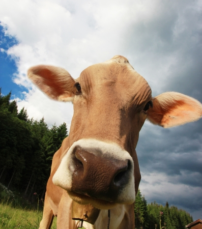 Funny portrait of a cow photo