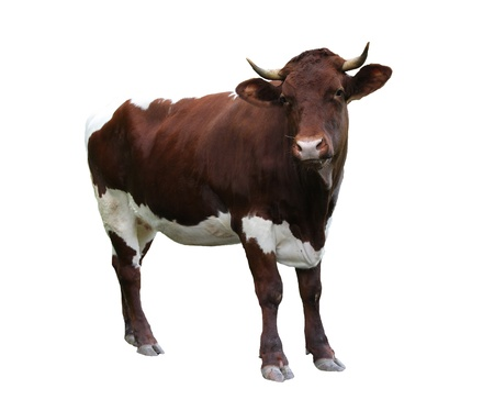 holstein cow: Cow over white background