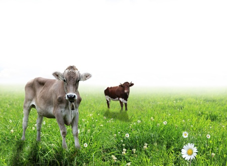 Cows over white background  photo