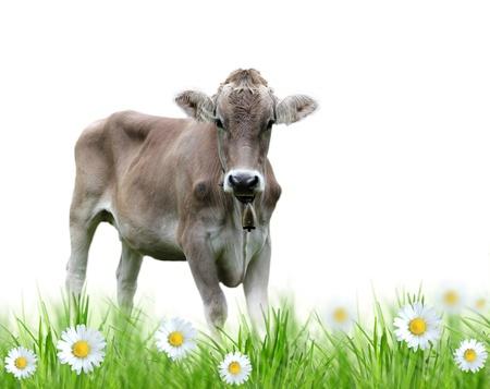 holsteine: Cow over white background