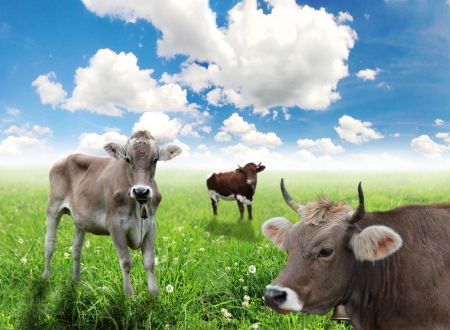 Cows on green grass and blue sky with clouds photo