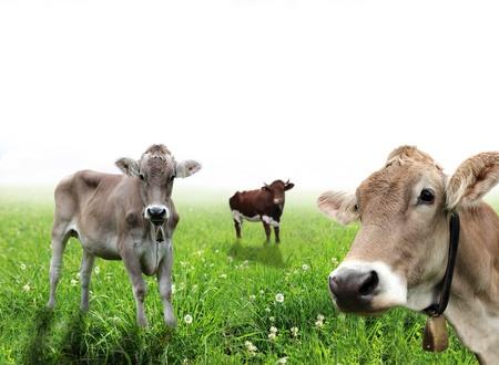 holsteine: Cows over white background