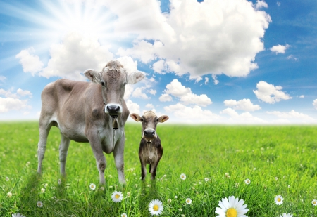 Cow with a calf on a beautiful meadow  photo