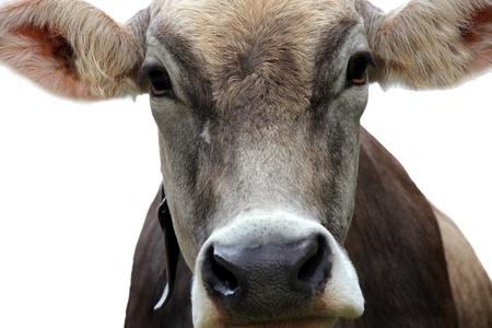 holsteine: portrait of a cow