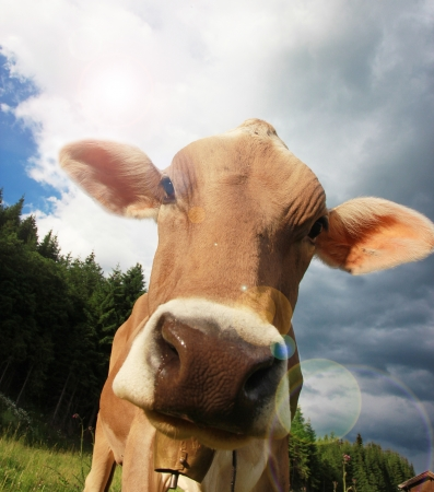 holsteine: Funny portrait of a cow
