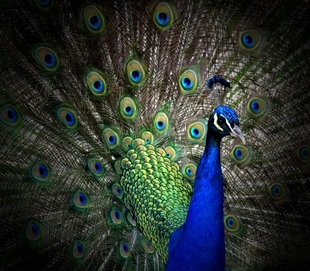 pluma de pavo real: Retrato de hermoso pavo real Foto de archivo