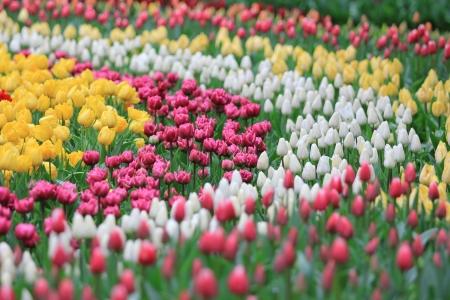 Beautiful tulips field photo