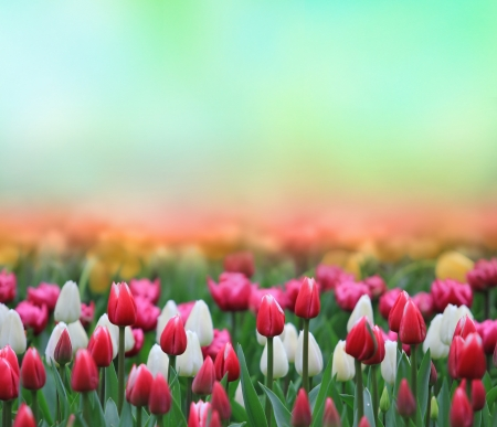 pink tulips: Beautiful tulips field Stock Photo