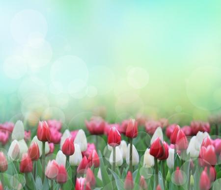 pink tulips: Beautiful tulips close-up