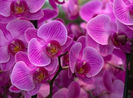 flores exoticas: P�rpura flores de las orqu�deas Foto de archivo