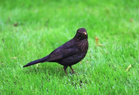 Blackbird on the grass photo