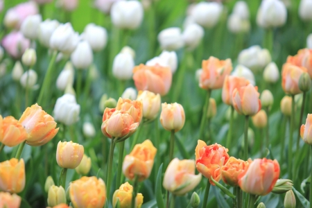 Colorful tulips close-up  photo