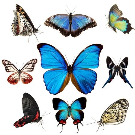 mariposa azul: Colección de mariposas exóticas aisladas en blanco