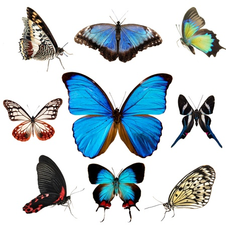 black butterfly: Exotic butterflies collection isolated on white  Stock Photo