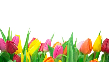 day dream: Bunch of tulips isolated on white background