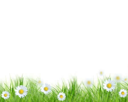 daisy flower: Beautiful spring background