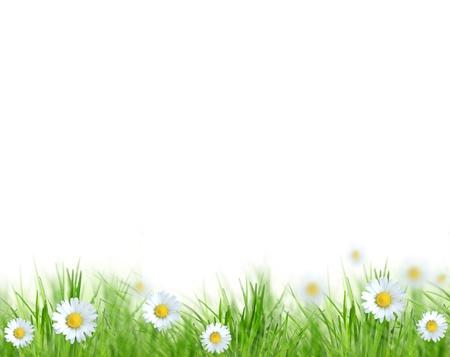 daisy flower: Beautiful spring background