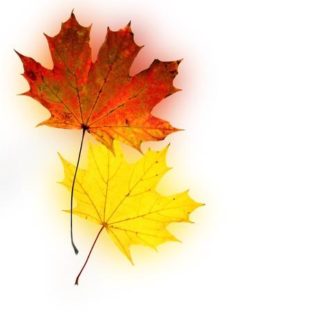 acer platanoides: Autumn background