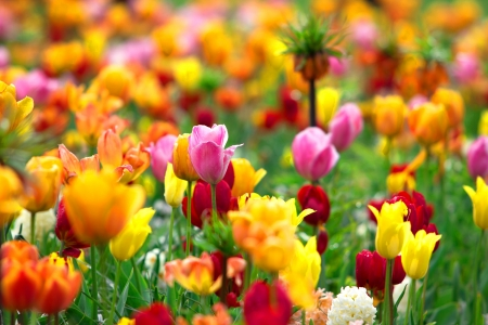 tulipa: Tulips background Stock Photo