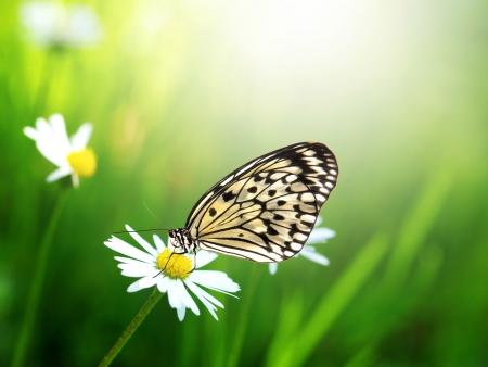 mariposa azul: Mariposa exótica con flor de la margarita