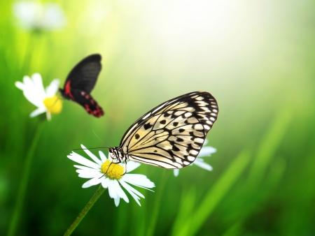 exotic butterflies: Mariposas ex�ticas con flor de la margarita