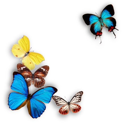 morpho: Exotic butterflies over white