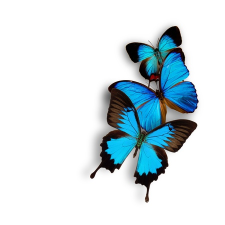 Exotic butterflies over white photo