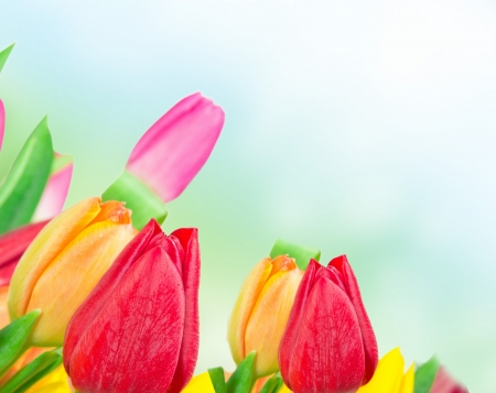 Tulip background photo