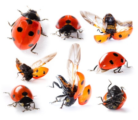coccinella: Collection of Seven-spot ladybirds Stock Photo