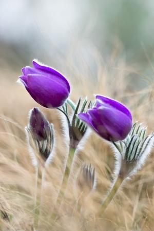 pulsatilla: Purple pasque flowers on mountains Stock Photo