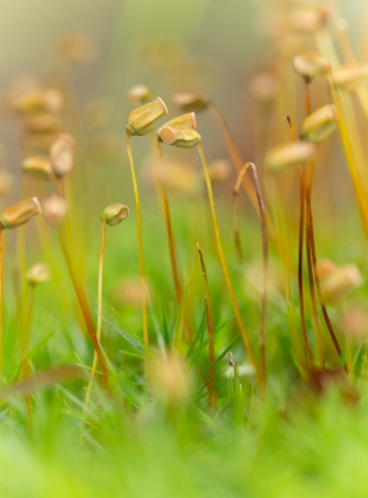 microcosm: wet moss, sporophytes  In the forest