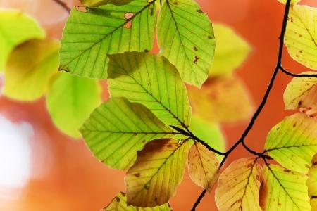 Beautiful autumn beech leaves photo